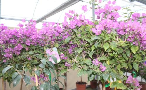 Buganvillas lilas