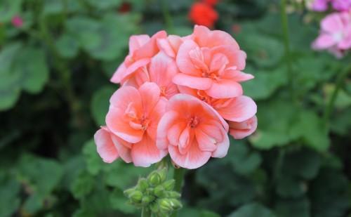Flor geráneo