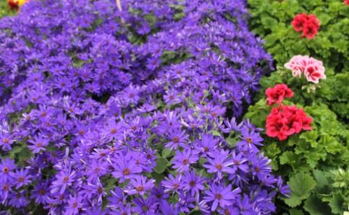 Flores Lilas y geráneos